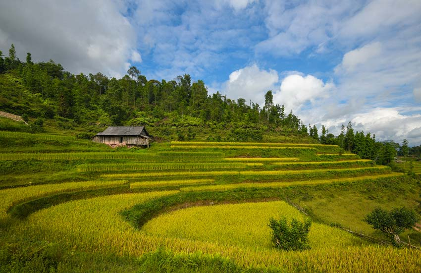 Yet another northern highlands district emits a golden glow - Hoang Su Phi